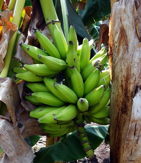 zelený banán plantain.jpg